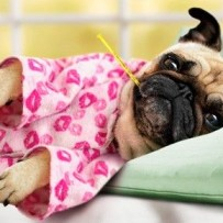 Canine Flu Information for Pet Owners